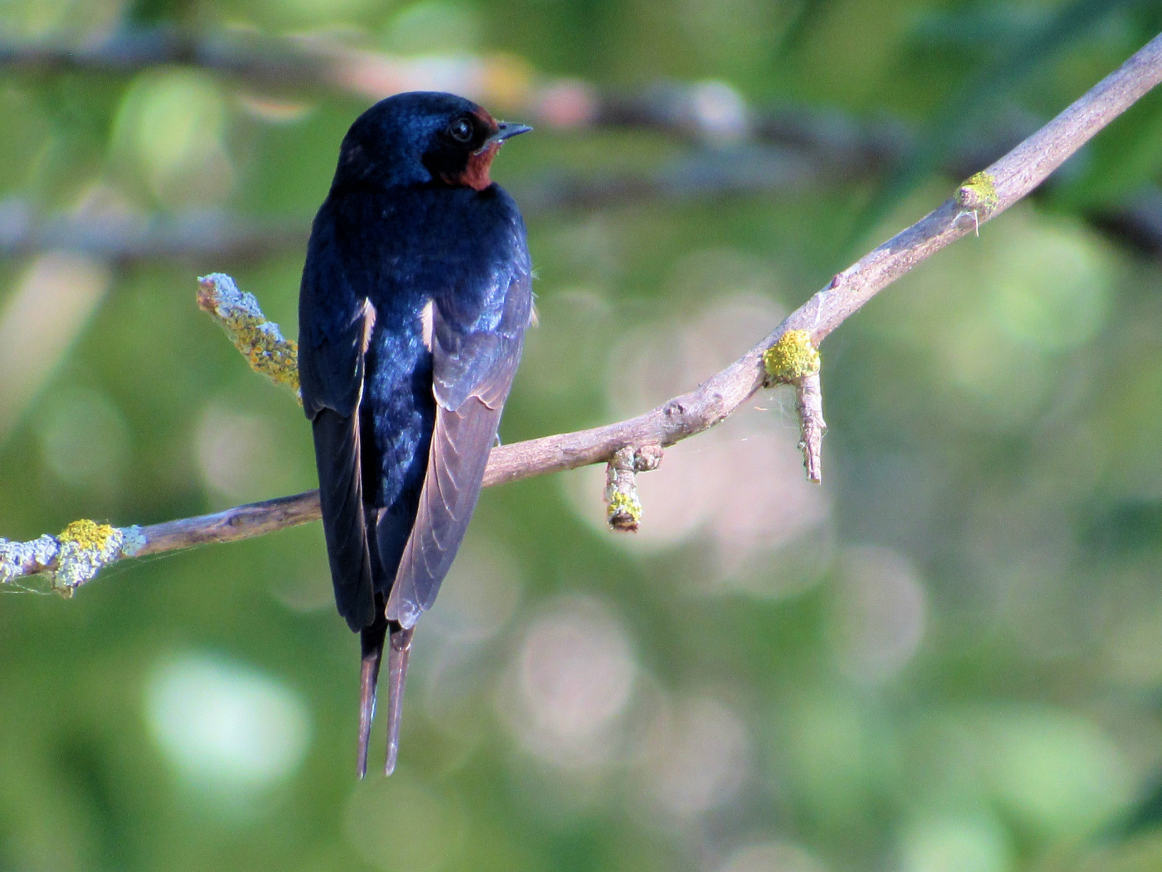 barn swallow 7/3/16