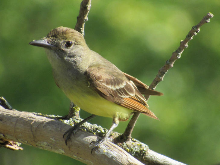 great crested flycatcher 7/02/16