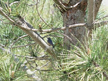 Red-breasted Nuthatch in the white pine tree