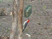 Red-bellied Woodpecker at the suet feeder